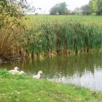 unsere Enten am Teich